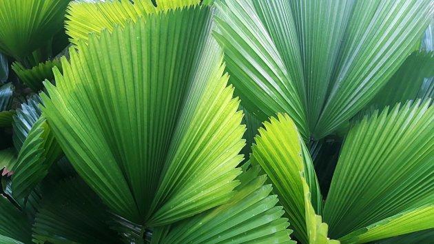 Listy livistonie jsou jako zelené vějíře.