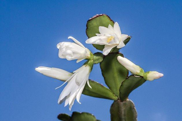 Velikonoční kaktus má okraje listů okrouhlé.