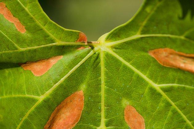 réva vinná papadená bakterií Xylella fastidiosa