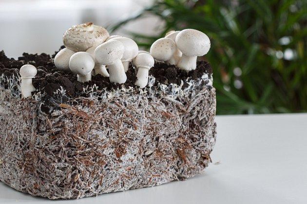 K oblíbeným houbám pěstovaným v domácích podmínkách patří žampiony.