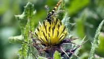 Léčivý benedikt čubet: květenství poskytuje potravu užitečné pestřence, jejíž larvy likvidují mšice
