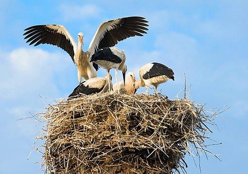 čáp bílý a jeho hnízdo