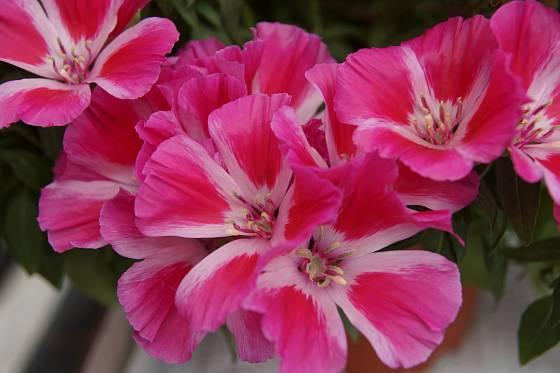 Lokanka (Clarkia) odrůda Satin