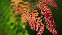Listy dřezovce se krásne vybarví na podzim, některé kultivary i na jaře