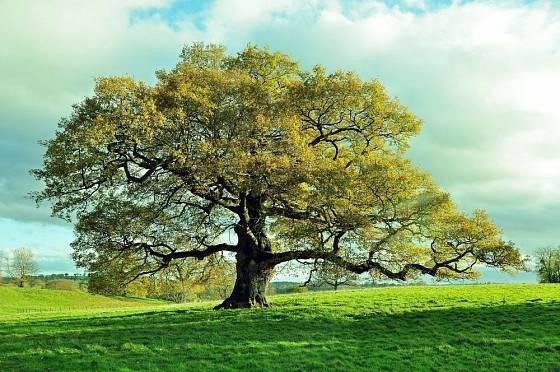 I prastaré duby každé jaro znovu omládnou
