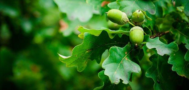 Zatímco listy jsou plné vody, plody bývají sušší