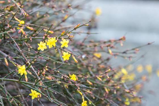 Jasmín nahokvětý (Jasminum nudiflorum) kvete už v zimních měsících.