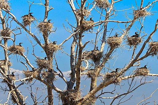 hnízdní kolonie kormorána velkého