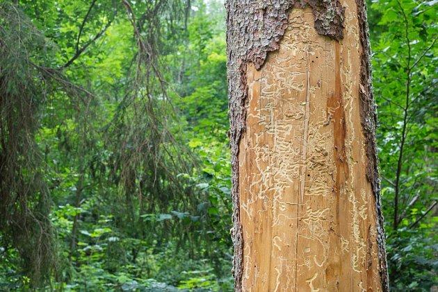 Brouci přednostně napadají nemocné, odumírající či jinak oslabené stromy