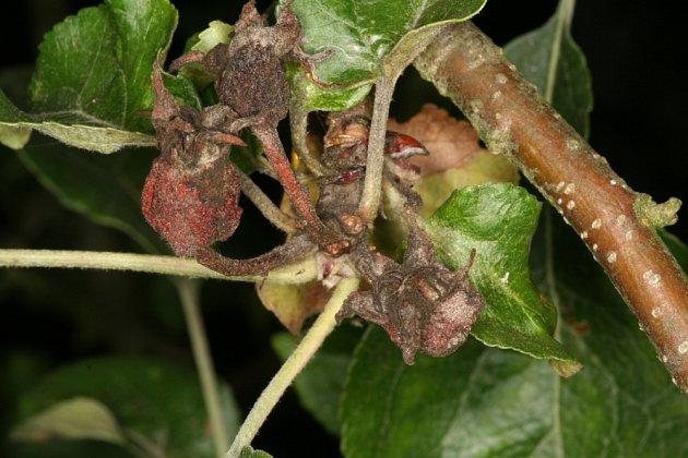 Poupata jabloně napadená moniliovou hnilobou