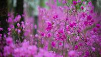 Pěnišník daurský (Rhododendron dauricum) je opadavý a kvete ještě před olistěním