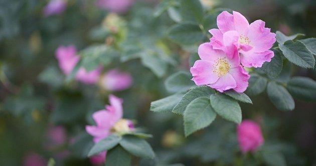 růže alpská (Rosa alpina)