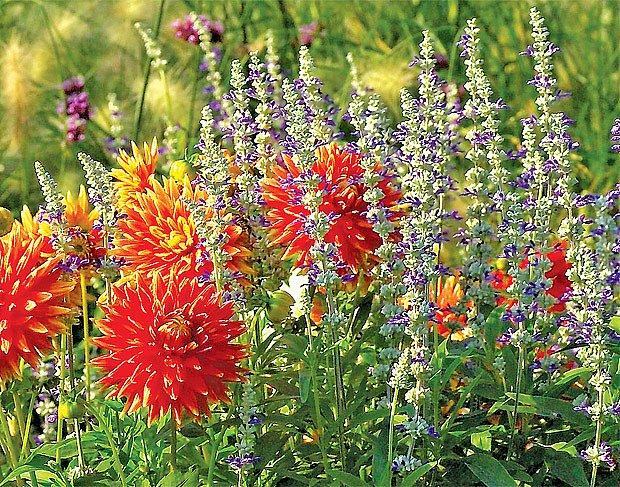 Šalvěj pomoučená (Salvia farinacea) 'Strata'