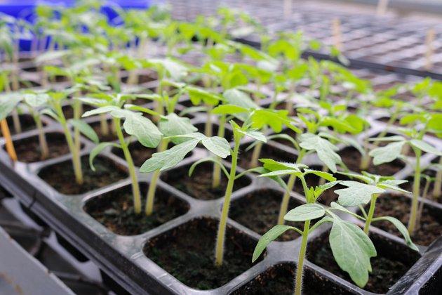 sazeničky rajčat v plastovém sadbovači
