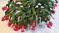 Vánoční kaktus má svůj domov ve vlhkých pralesích tropické Brazílie.