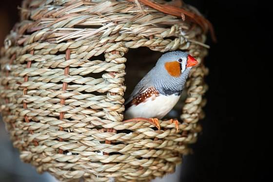 netradiční hnízdní budka pro zebřičky