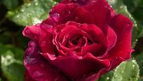Velkokvětá odrůda Bellevue má typický ušlechtilý tvar sametově červenou květů a patří k těm, které nakvétají průběžně celé léto