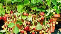 Jahody vypěstované na balkóně? Žadný problém