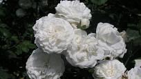 Sadová růže, odrůda Bílý Ideál