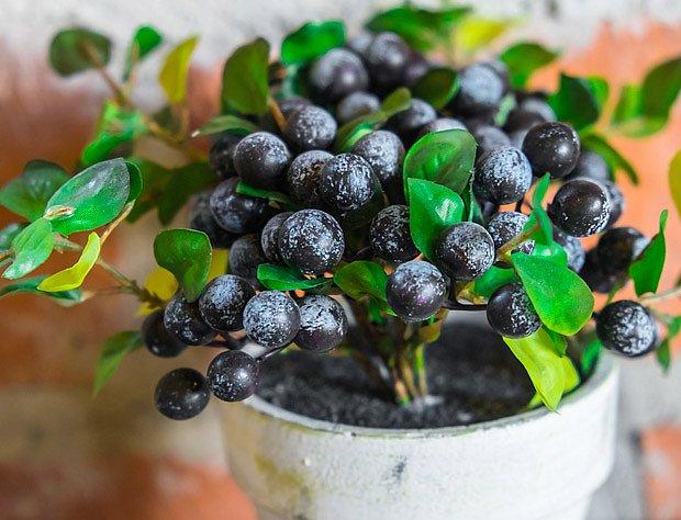Borůvky můžete pěstovat přímo na stole