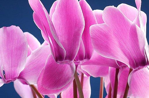 květ bramboříku