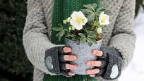 Otužilá čemeřice černá je skvělým květinovým dárkem v zimním období.