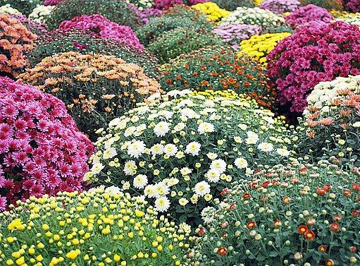 kompaktní trsy chryzantém jsou pastvou pro oči