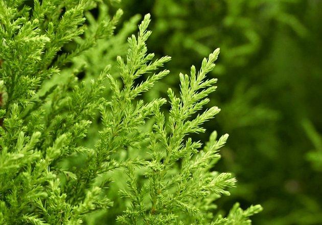 Detail větve pokojového cypřišku - Cupressus macrocarpa