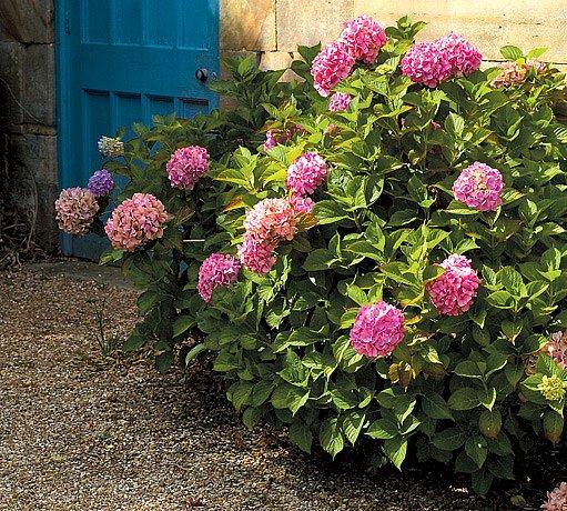 Hortenzie velkokvětá (Hydrangea macrophylla)