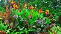 Některé kultivary dosen (Canna) mají atraktivně zbarvené listy.