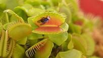 Mucholapka podivná (Dionaea muscipula) loví drobné živočichy prudkým pohybem pasti.