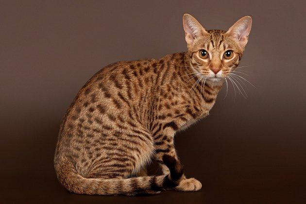 Ocicat je plemeno s nevšední srstí i povahou.