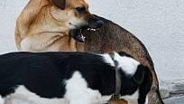 Některému psovi se nemusí očichávání jiným psem líbit.