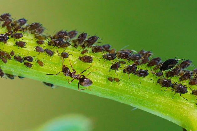 Zahrádkáři mravence nemilují, protože chrání mšice