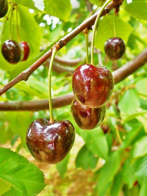 pozdní odrůda třešně Regina