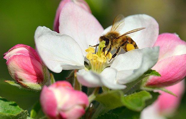 Včela opyluje jabloňový květ