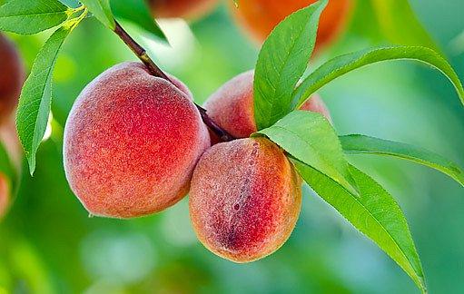 plody zdravé broskvoně