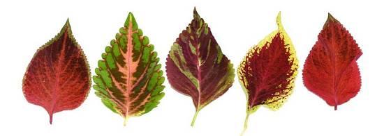 Vybarvení listů africké kopřivy se liší podle variety