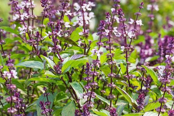 Dekorativní odrůdy bazalek stojí za to nechat vykvést