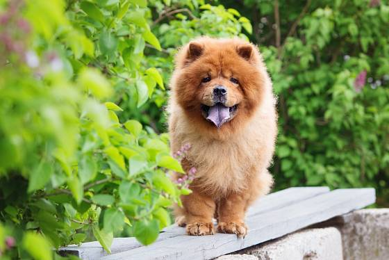 Čau-čau - psí plemeno původem z Číny.