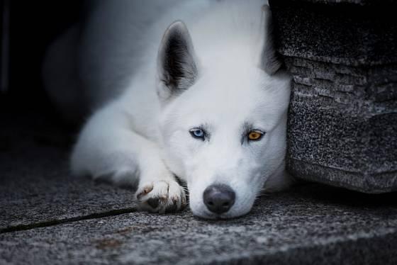 Kanadský eskymácký pes