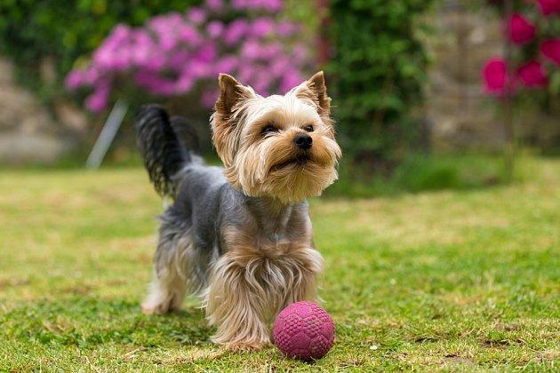 Chcete-li psa, který bude vypadat, ale také se chovat jako štěně po většinu svého života, pořiďte si jorkšíra.