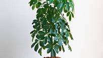 Šeflera (Schefflera arboricola)