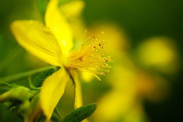 Květ třezalky zblízka