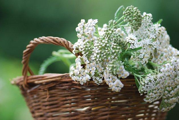 Řebříček obecný patří k oblíbeným léčivým bylinám.