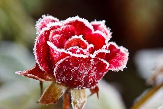 Květ růže ojíněný mrazem.