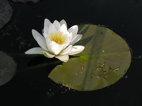 Pod jménem vodní růže se skrývá leknín