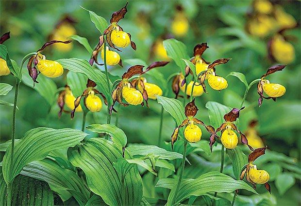 Zahradní orchideje