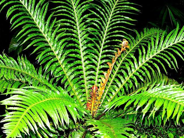 žebrovice brazilská, Blechnum brasiliense