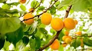V létě jsou vítanou součástí koláče zralé meruňky.